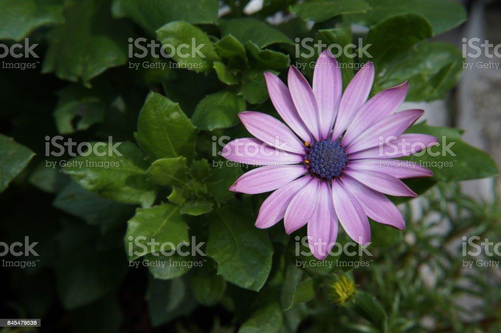flower pink purple gerbaera stock photo