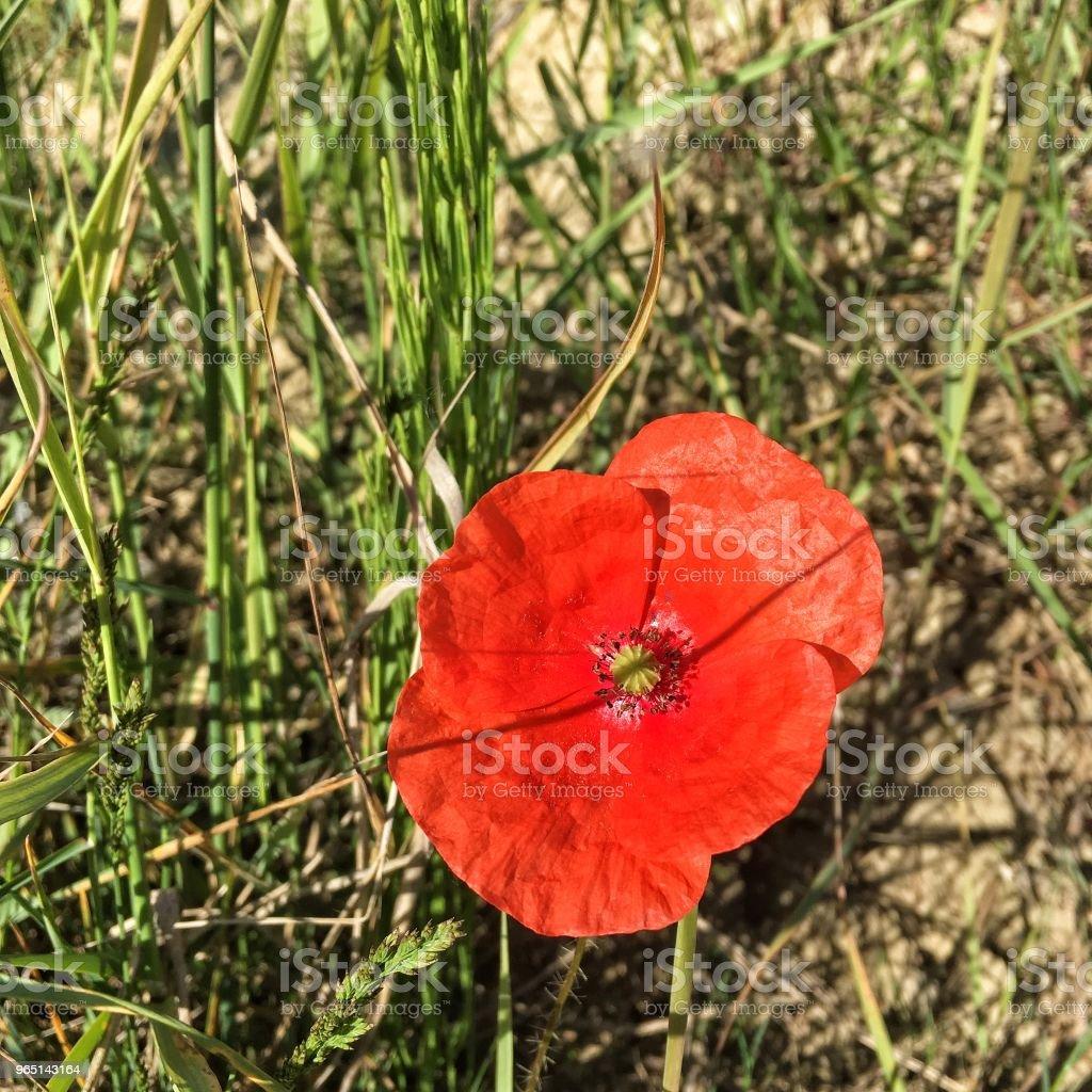 flower poppy zbiór zdjęć royalty-free