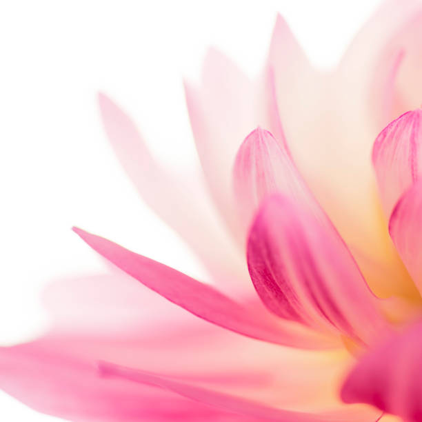 Flower Portrait Square Flower water lily stock pictures, royalty-free photos & images