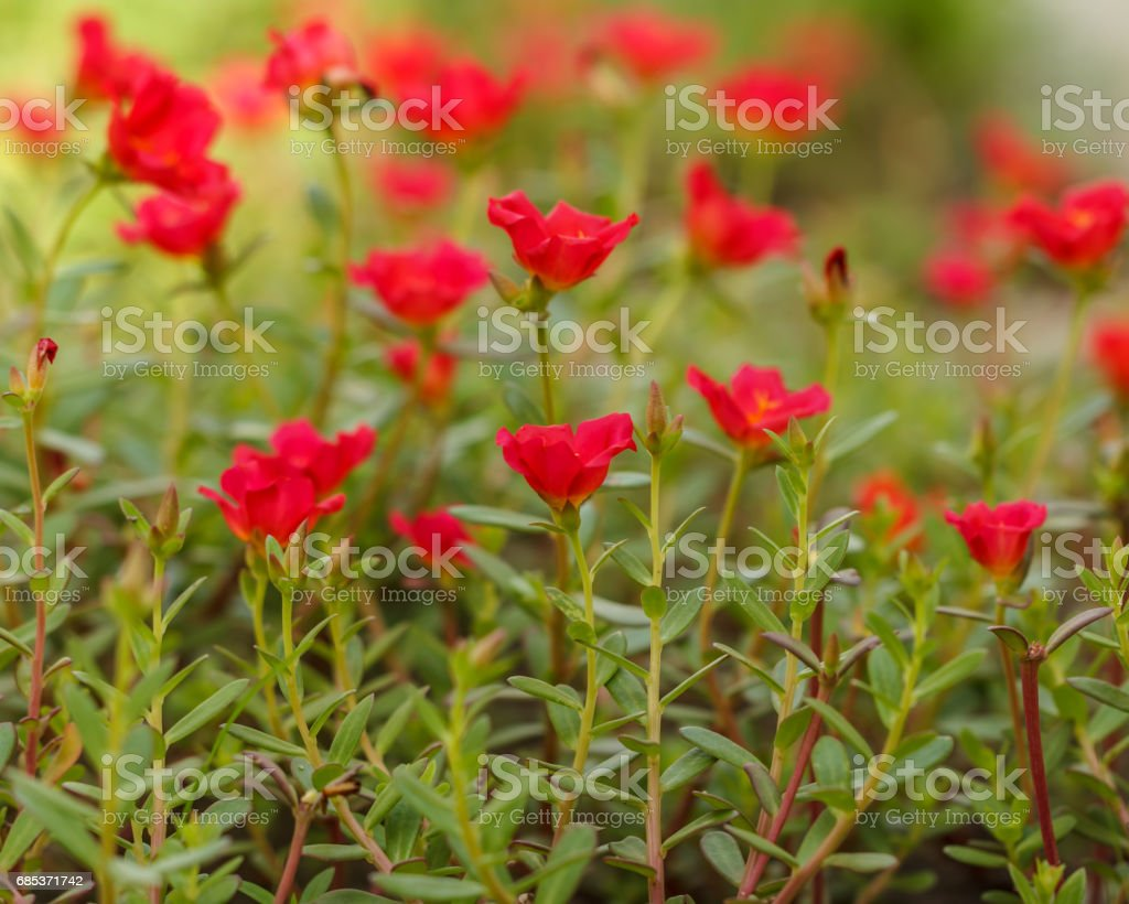 Flower Portulaca oleracea royalty-free stock photo