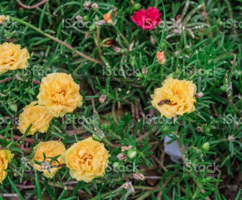 Flor Portulaca Oleracea - Foto de stock de Abstrato royalty-free