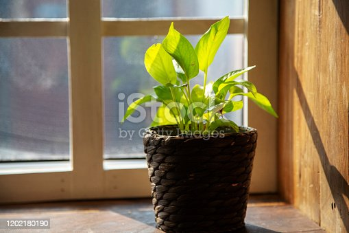 flower pot beside window