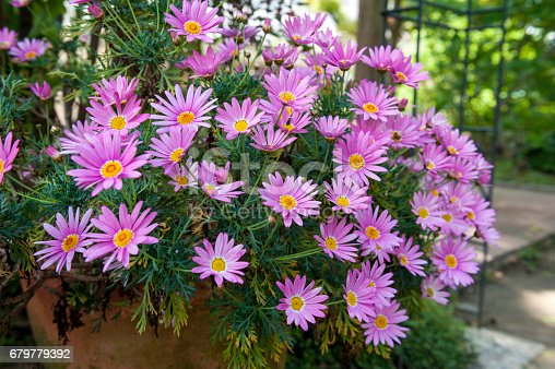 istock Flower pot of Aster cordifolius - pink flowers during blossom season in botanic garden 679779392