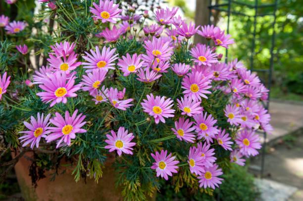 Blumentopf Aster Cordifolius - rosa Blumen der Saison blühen im Botanischen Garten – Foto