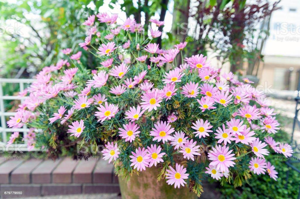 Flower pot of Aster cordifolius - pink flowers during blossom season in botanic garden stock photo