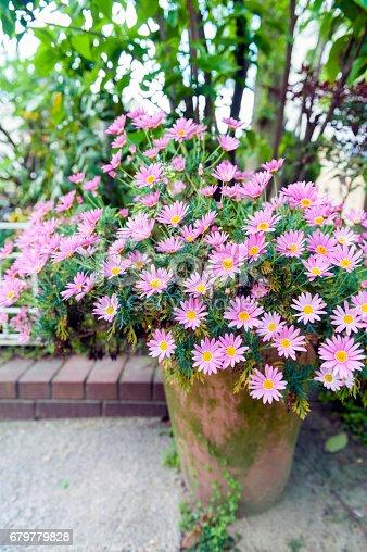 istock Flower pot of Aster cordifolius - pink flowers during blossom season in botanic garden 679779828