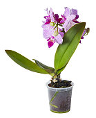 A flower pot with a pink mini orchid Phalaenopsis isolated on white background with clipping path