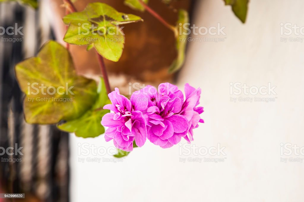 flower pot with pink geraniums and green leaves hanging on the white wall in the villages of Andalusia, Spain stock photo