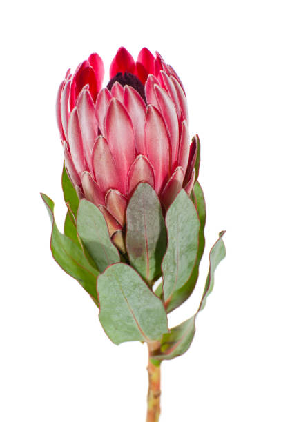 blume protea aus der nähe auf einem sauberen weißen hintergrund. - protea strauß stock-fotos und bilder