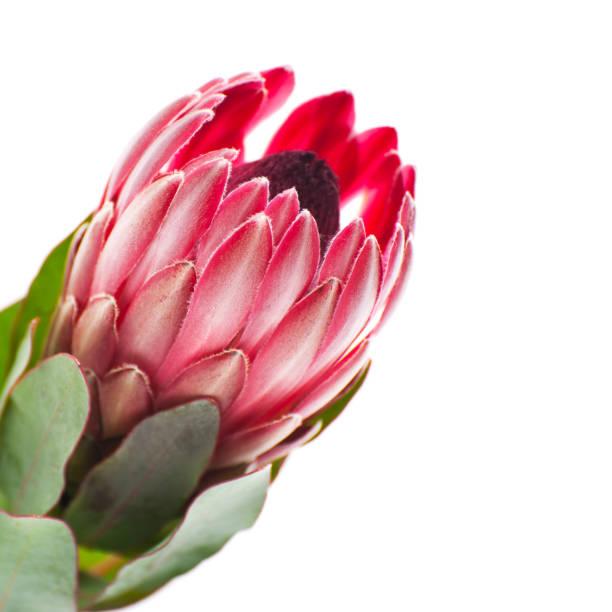 blume protea nahaufnahme seitlich auf einem sauberen, weißen hintergrund. - protea strauß stock-fotos und bilder