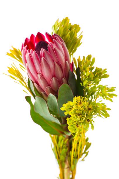blume-protea in einem minimalistischen strauß auf weißem hintergrund. - protea strauß stock-fotos und bilder
