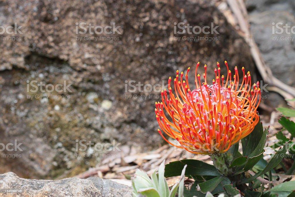 Flower Proteaceae Leucospermum stock photo
