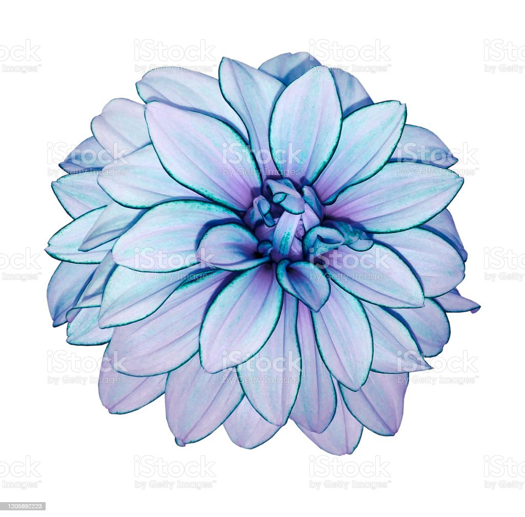 Flower Purple Dahlia On White Isolated Background With Clipping Path No Shadows Closeup Nature Stock Photo Download Image Now Istock
