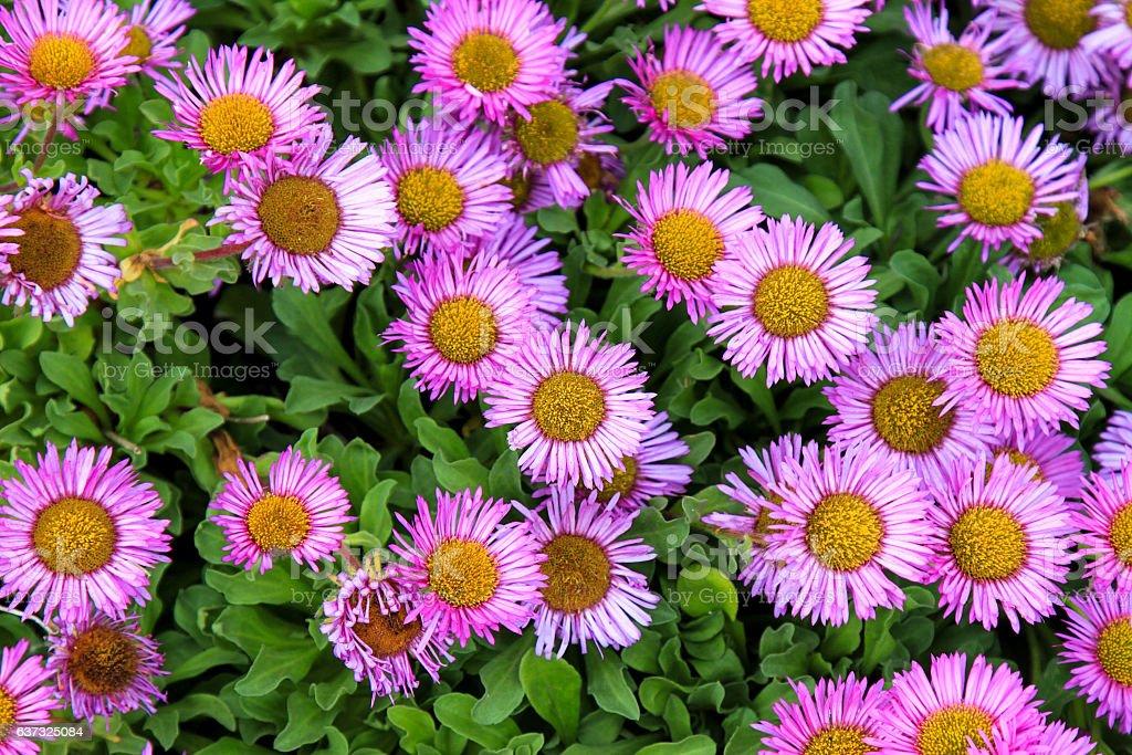 Flower purple daisies wildflowers pink flower with yellow corolla flower purple daisies wildflowers pink flower with yellow corolla royalty free stock photo mightylinksfo