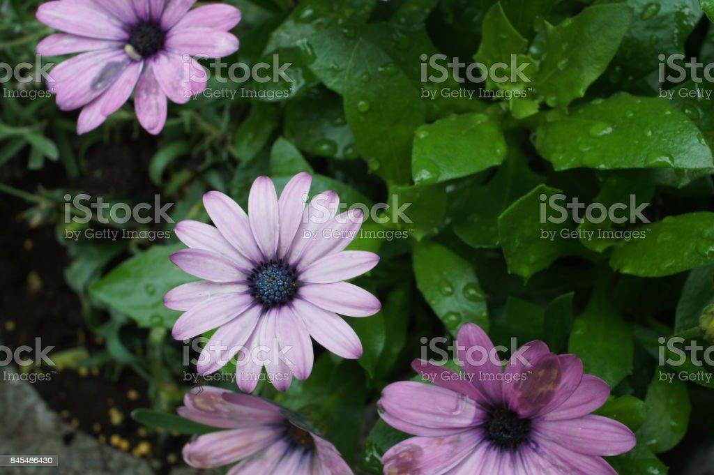 flower purple pink gerbera stock photo