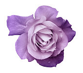 istock Flower purple rose  on a white isolated background with clipping path.  no shadows. Closeup. For design, texture, borders, frame, background.  Nature. 1212352977