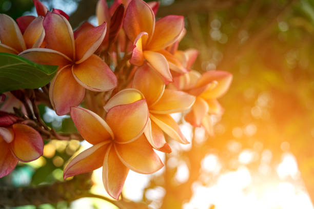 Flower (Plumeria flower) red, pink, orange and yellow color, Naturally beautiful flowers in the garden stock photo