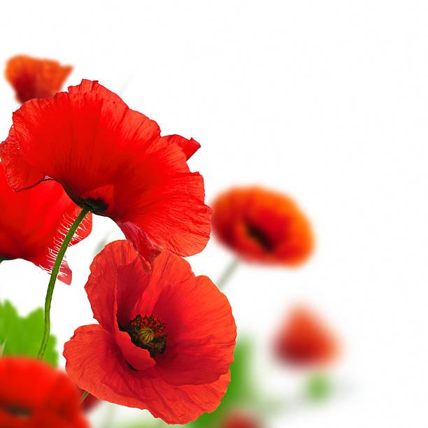 blume rote poppies über weiß - mohn stock-fotos und bilder