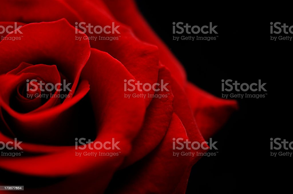 flower, red rose bud against black stock photo