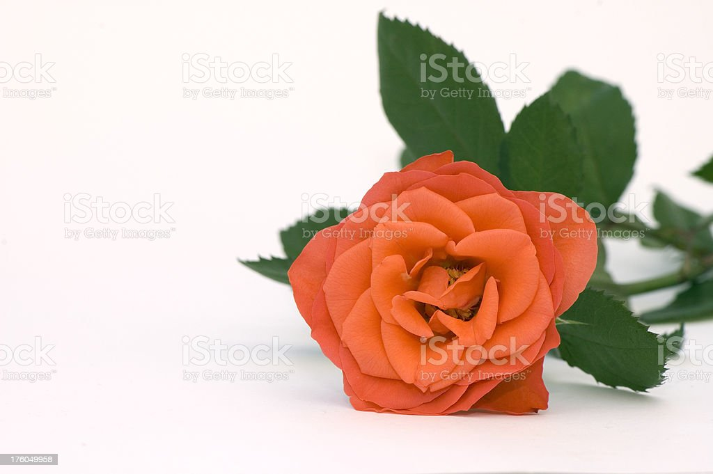 Flower - Red Rose royalty-free stock photo