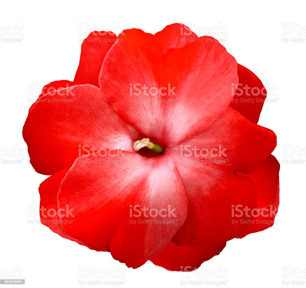 Flower red violets  on a white isolated background with clipping path  no shadows.  Closeup  For design.  Nature. - Royalty-free Adult Stock Photo