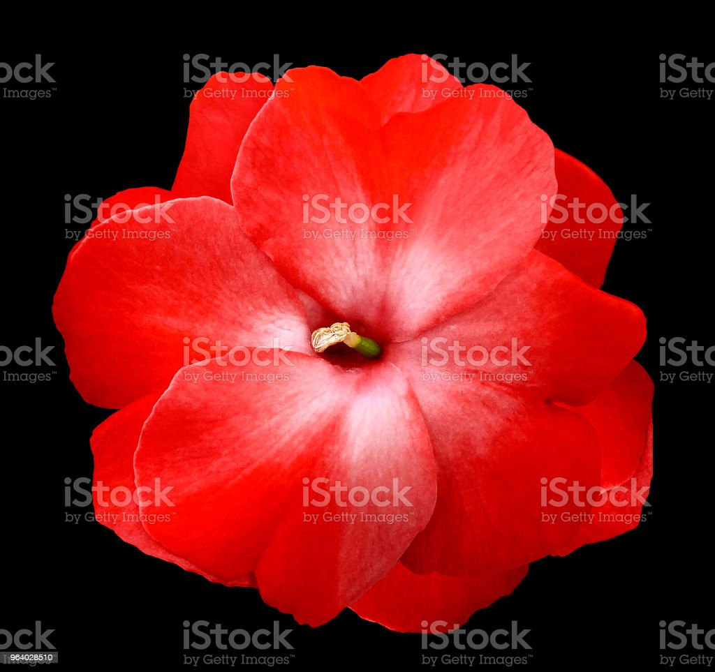 Flower red violets  on the black isolated background with clipping path  no shadows.  Closeup  For design.  Nature. - Royalty-free Adult Stock Photo