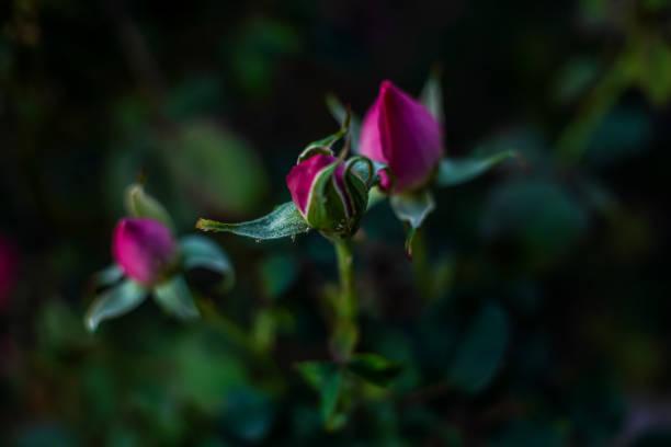 Flower Rose buds stock photo