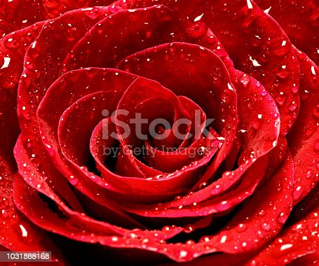 867916232 istock photo flower rose petal blossom red nature beautiful background 1031868168