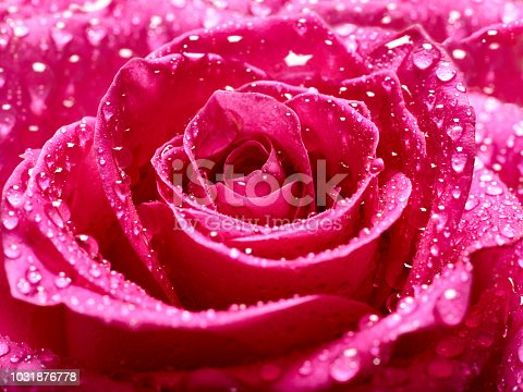 867916232 istock photo flower rose petal blossom red nature beautiful background 1031876778