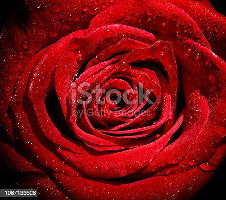 867916232 istock photo flower rose petal blossom red nature beautiful background 1067133526
