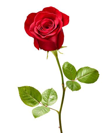 flower, rose bud against black