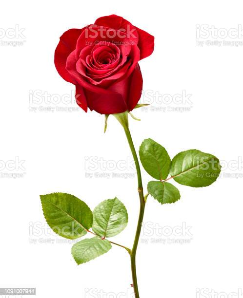 Photo of flower rose petal blossom red nature beautiful background