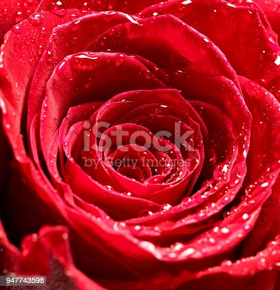 867916232 istock photo flower rose petal blossom red nature beautiful background 947743598