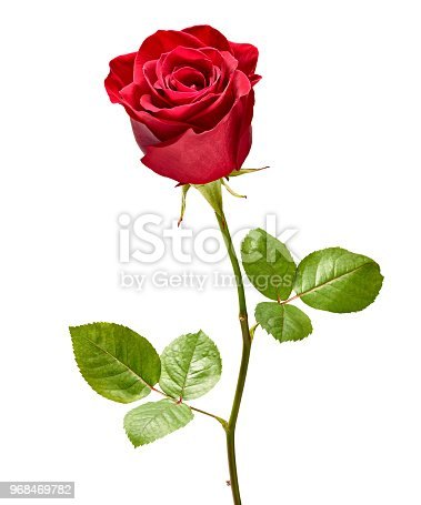 867916232 istock photo flower rose petal blossom red nature beautiful background 968469782