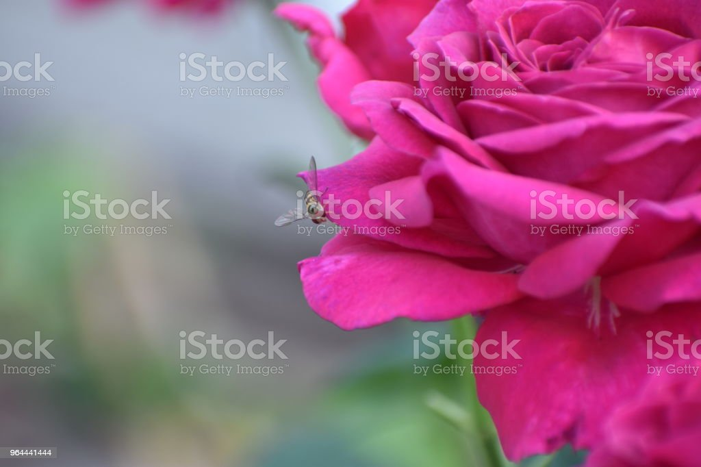 Flower rose - Royalty-free Cultivated Stock Photo