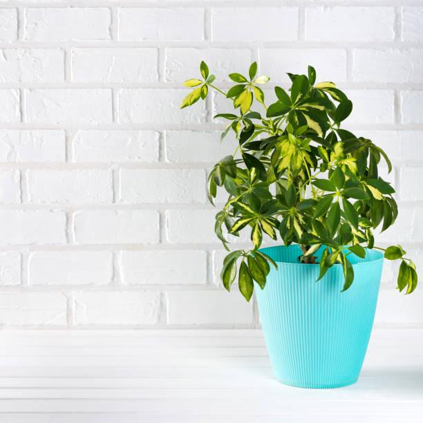 Flower schefflera in pot on white bricks wall background. stock photo
