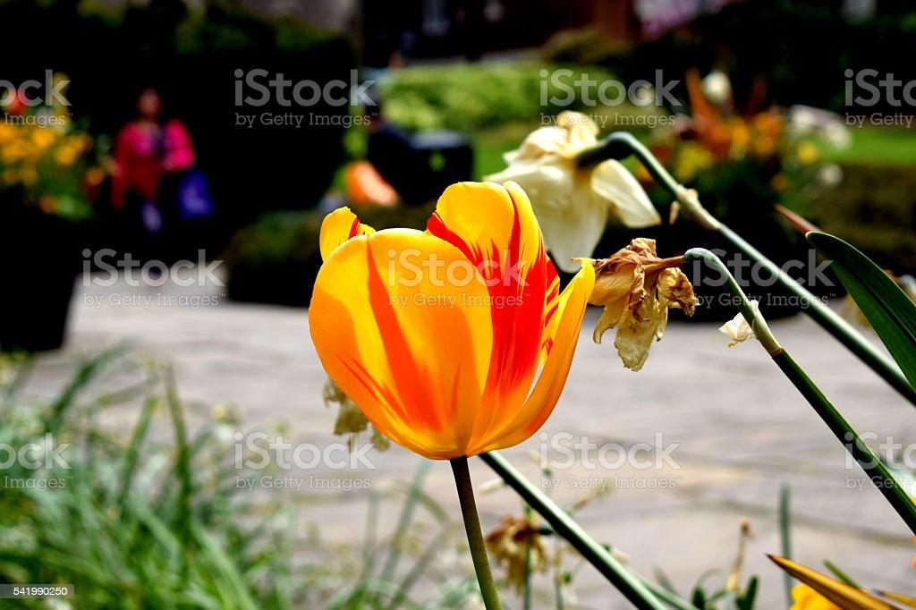 Flower, Semper Augustus Tulip stock photo