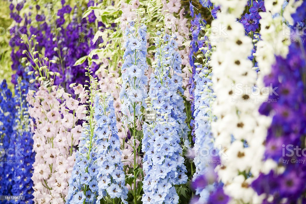 Flower Show Delphiniums stock photo