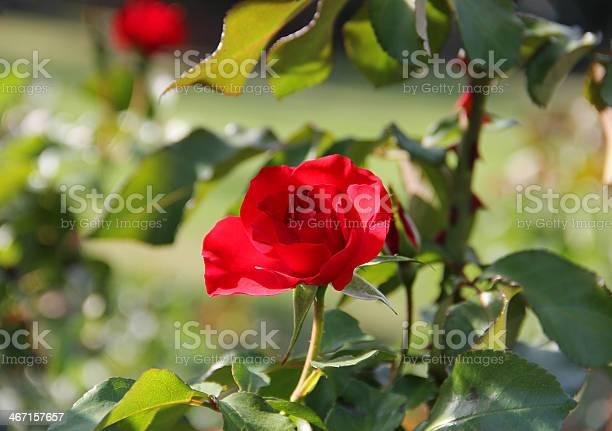 Flower single red rose picture id467157657?b=1&k=6&m=467157657&s=612x612&h=c1olte0qva9idly6ighn 0hlwl1v157e6 3hcifhsce=