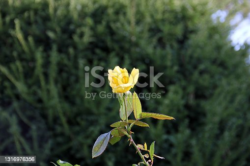 Flower - Single yellow rose in springtime istanbul