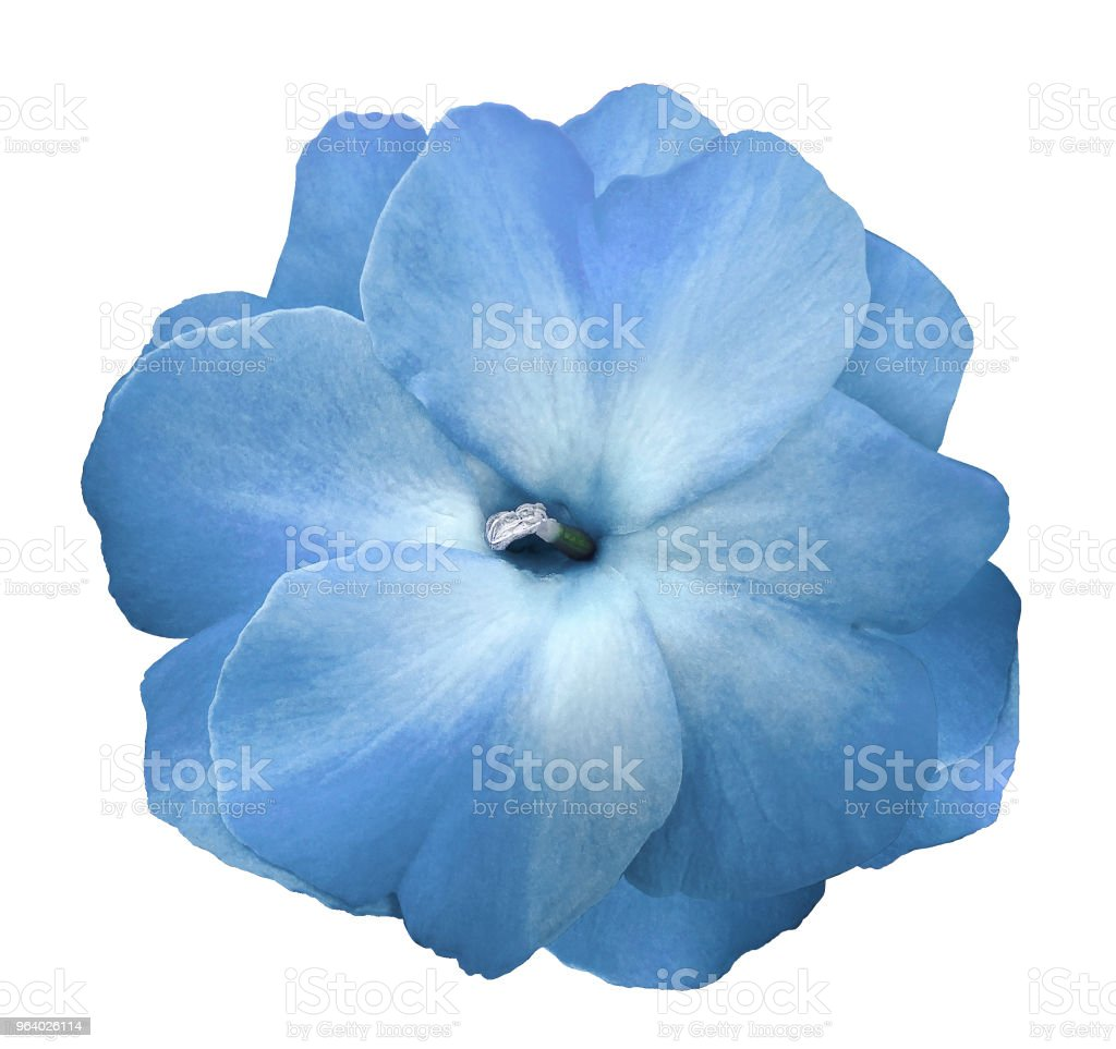 Flower sky blue violets  on a white isolated background with clipping path  no shadows.  Closeup  For design.  Nature. - Royalty-free Adult Stock Photo
