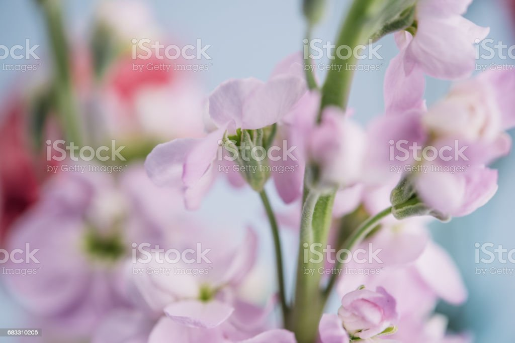 Flower snapdragon in pastel foto stock royalty-free