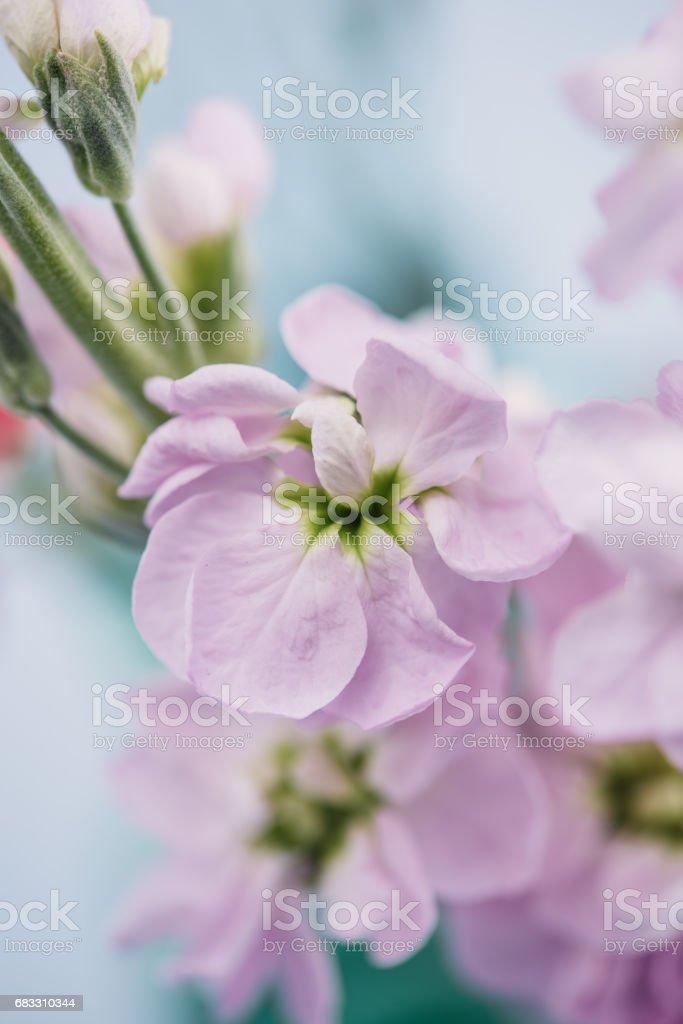 Flower snapdragon in pastel foto stock royalty-free