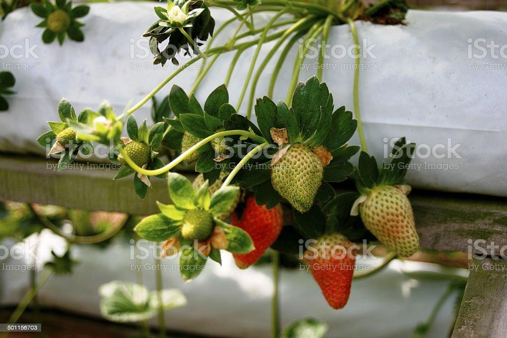 Flower - Strawberry plant stock photo