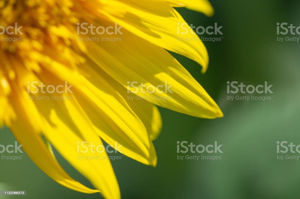 Flower sunflower bright bloom. Shallow depth of field. Flower blurred...