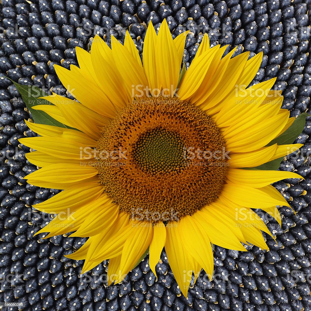 Flower sunflower with sunflower seeds, close up. royalty-free stock photo