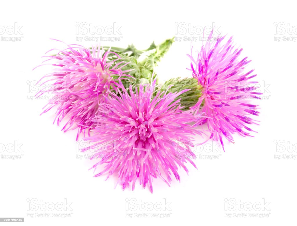 Flower thistle isolated on white background macro stock photo