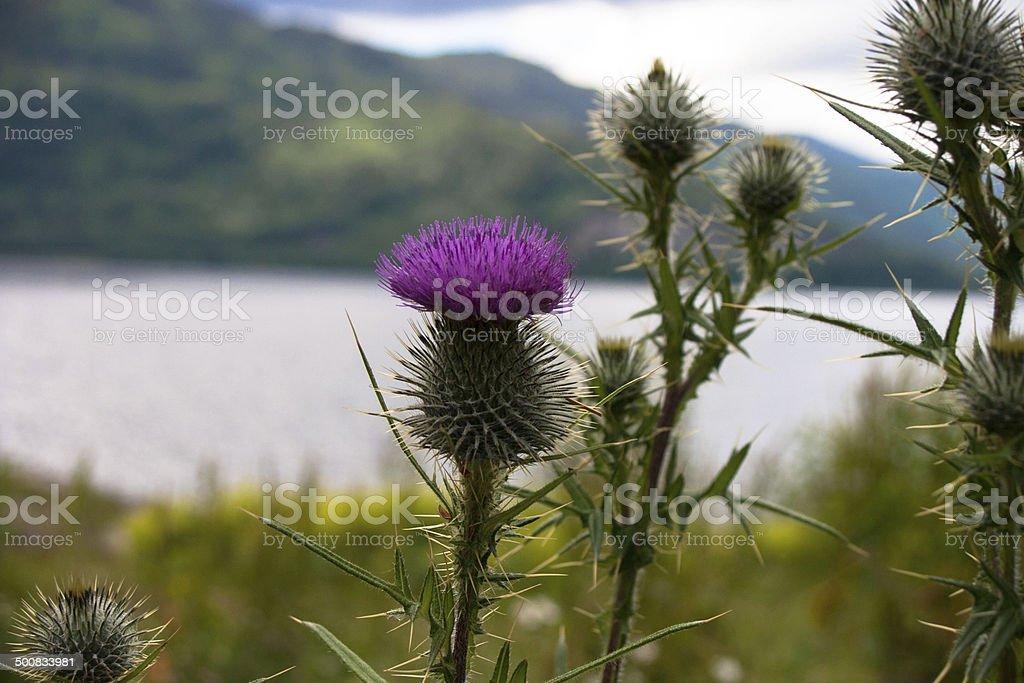 Flower - Thistle stock photo