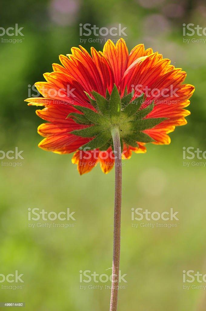 Flower toward the sun. stock photo