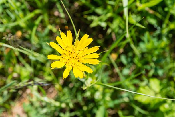 Blume-Tragopogon pratensis (Meadow Schwarzwurzel, außen mit Ziegenkäse-Bart, Meadow Ziegenkäse-BART) – Foto